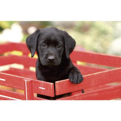 Kangaro bureaulegger: Hond